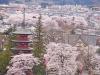 桜の中にたたずむ五重の塔